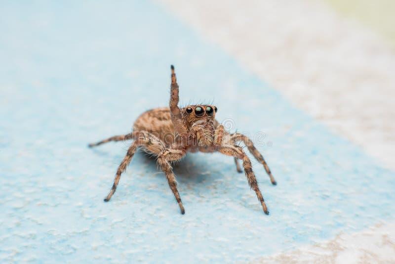 Spinne, springende Spinne auf Wand lizenzfreies stockbild