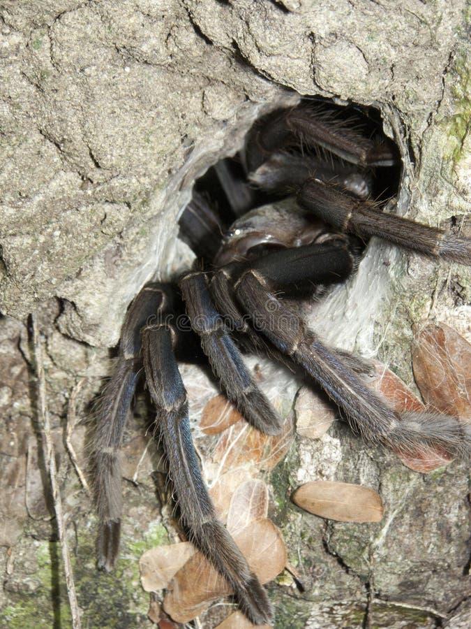 Spinne Tarantula stockbild
