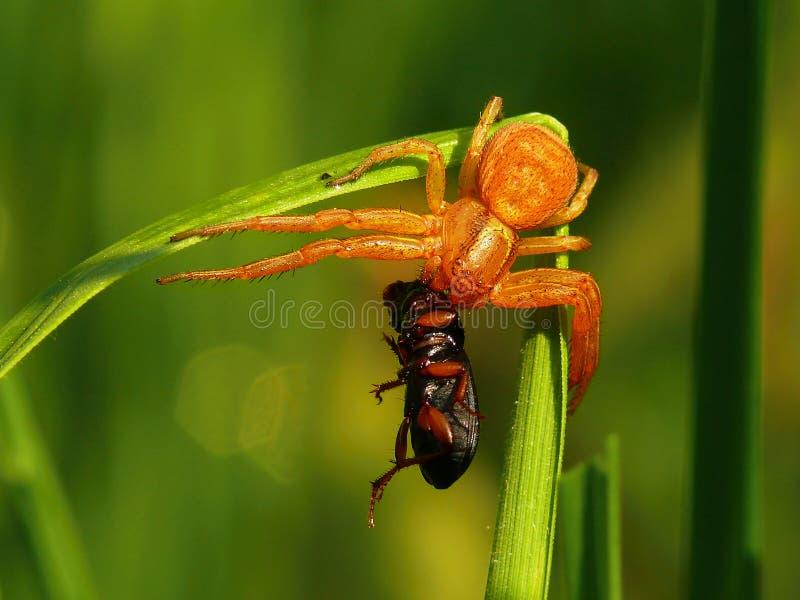 Spinne und Käfer stockfotos