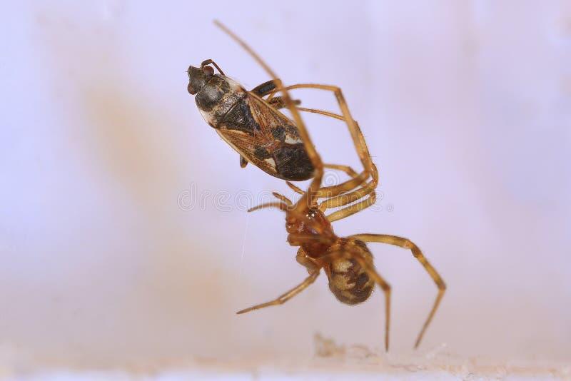 Spinne und Opfer stockfotos