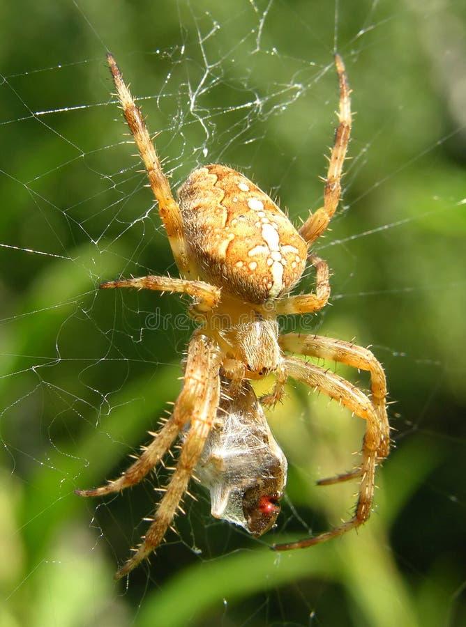 Spinne und Opfer lizenzfreie stockfotografie