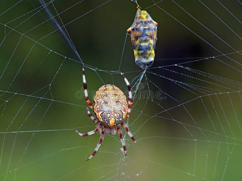 Spinne und sein Opfer. stockfoto