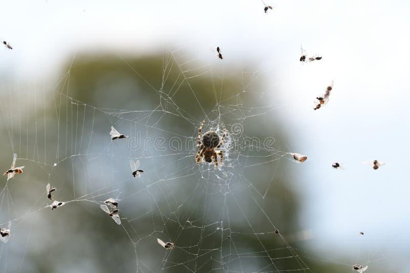Spinne, welche die Fliege auf seinem seinem Netz jagt stockbilder
