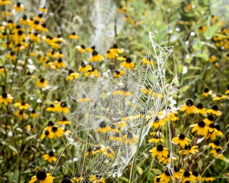 Spinnen-Netze mit Schwarzes gemusterter Susan Flowers stockfoto
