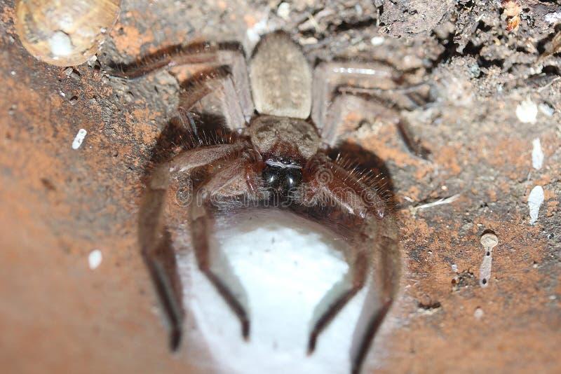 Spinnen-schützende Eier lizenzfreie stockfotos