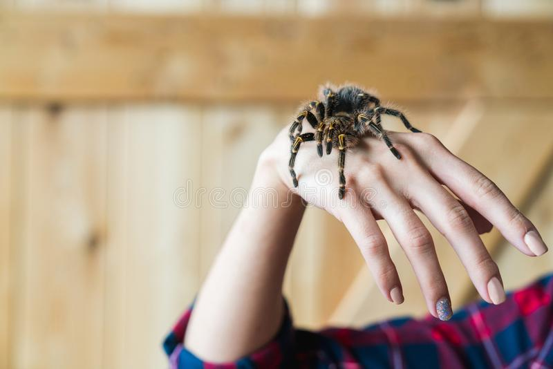Spinnen-Tarantel auf dem Mann ` s Arm stockbild
