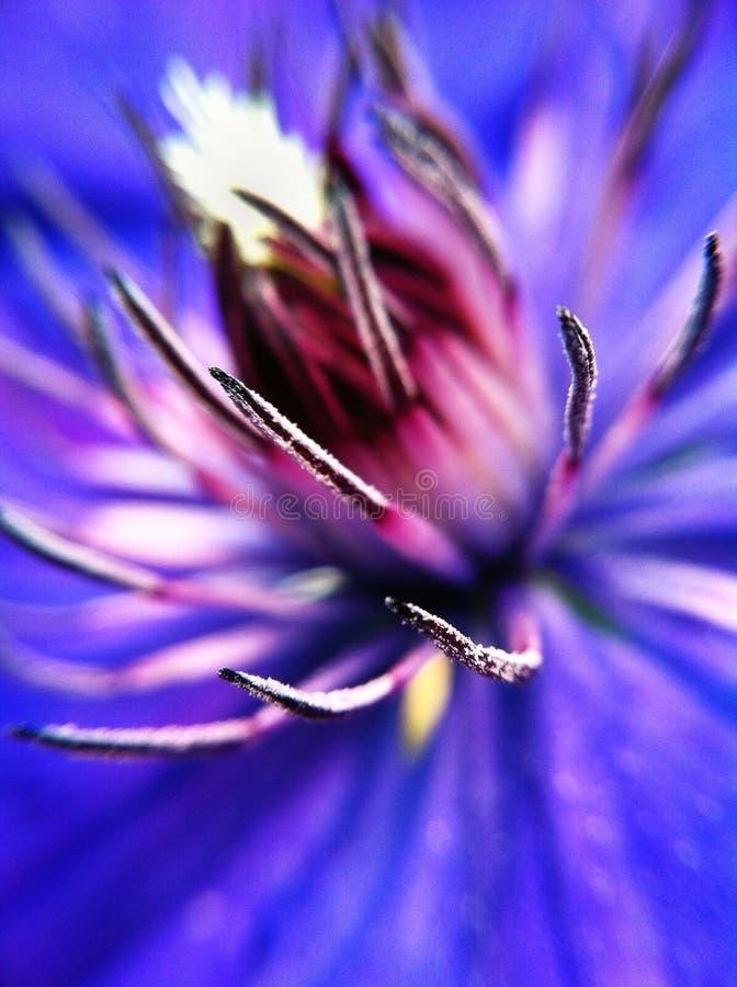 Spinnenblume stockfoto