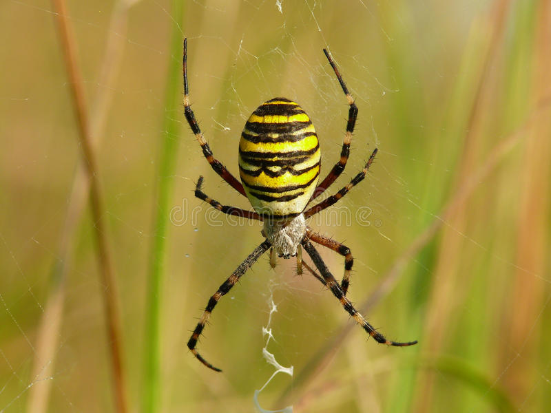 Spinnenkreuzfahrer stockfoto