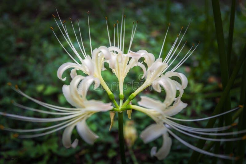 Spinnenlilie lizenzfreie stockfotografie