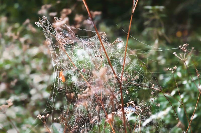 Spinnennetz abgedeckt durch Tröpfchen des Taus stockbilder