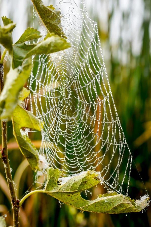 Spinnennetz mit Morgentautropfen lizenzfreie stockfotos