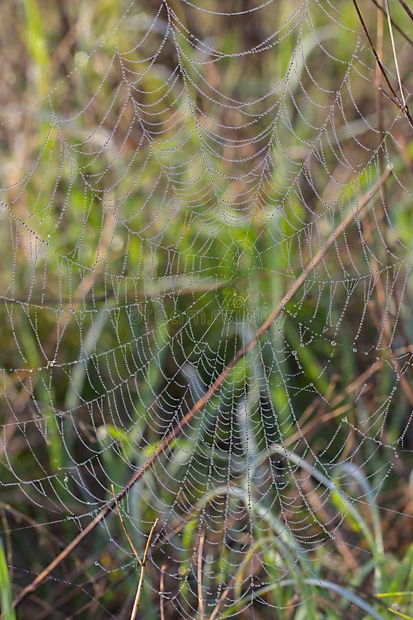 Spinnennetz mit Morgentautropfen stockfotografie