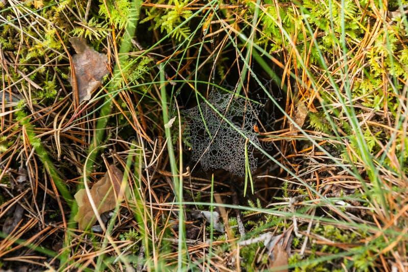 Spinnennetz mit Tautropfen auf Morgenwald Finnlands am Herbst lizenzfreies stockbild
