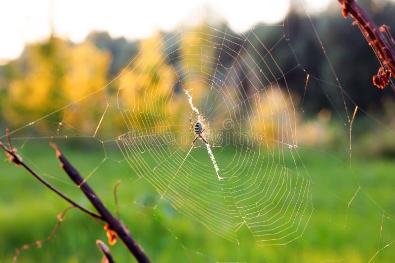Spinnennetz oder Spinnennetz mit Spinne stockbilder