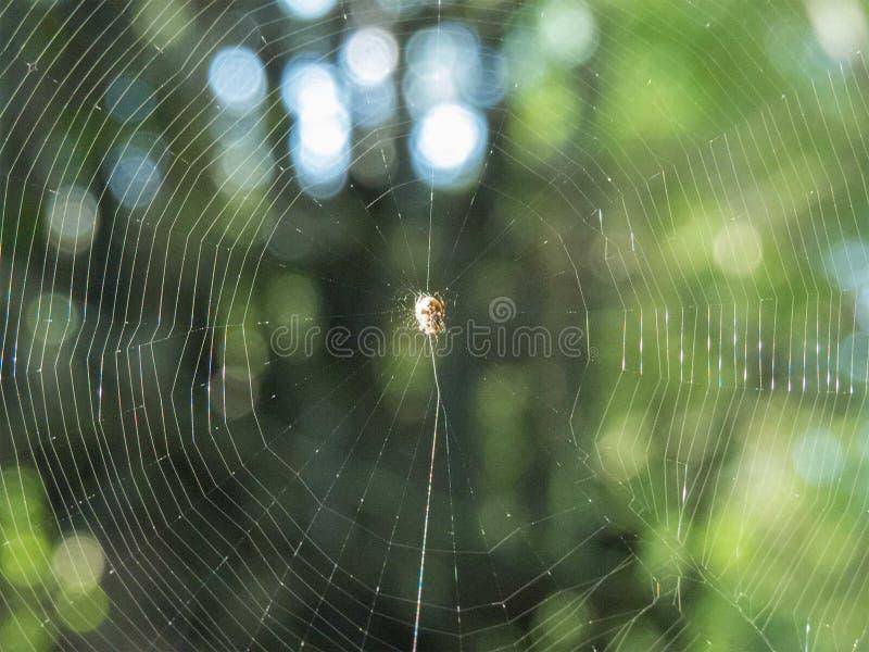 Spinnennetz-oder Spinnen-Netz mit Spinne, schöner grüner Unschärfehintergrund stockfotografie