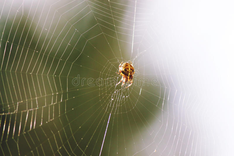 Spinnennetz Spiderweb. A beautiful spider awaits in her perfectly constructed spiderweb stock image