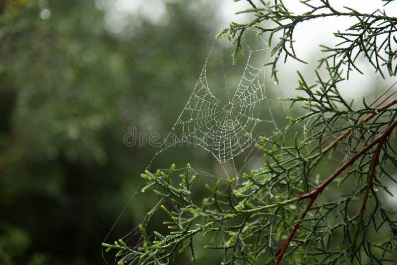 Spinnennetz und Tautropfen stockbild