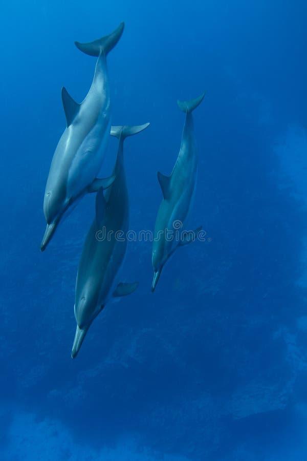 Spinner-Delphin stockbilder
