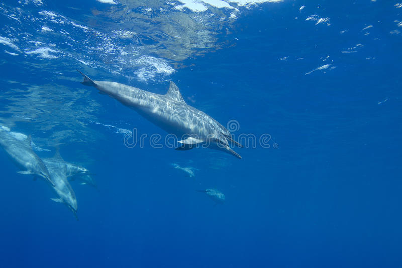 Spinner Dolphin royalty free stock image
