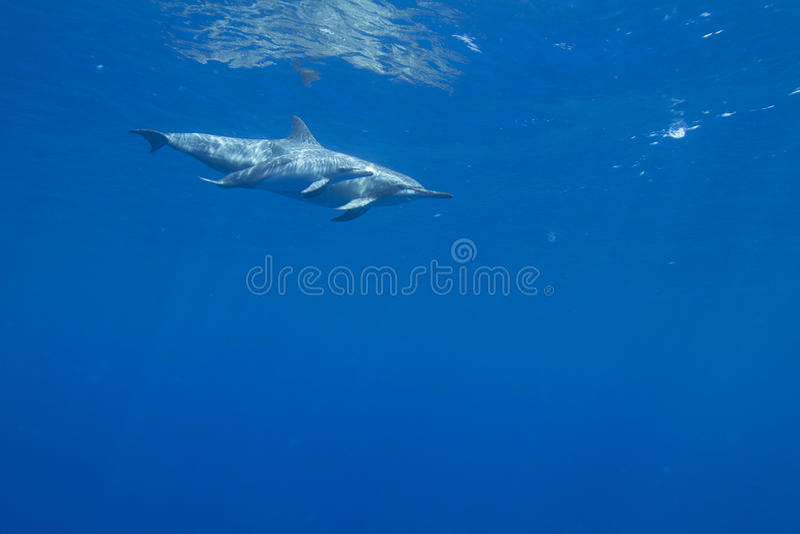 Spinner Dolphin royalty free stock photos