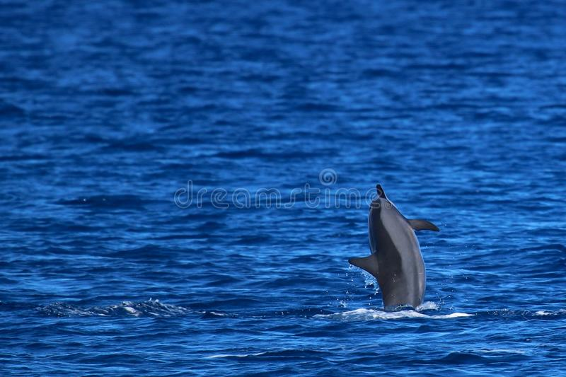 Spinner Dolphin Breaching. A Spinner Dolphin breaches the surface near Hawaii royalty free stock image