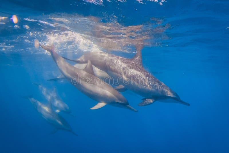 Spinner Dolphin stock photos