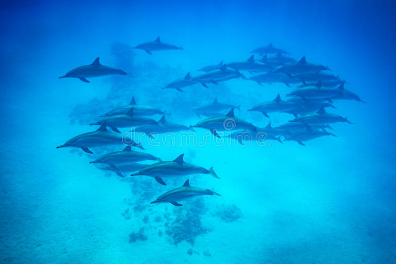 Spinner dolphin pod swimming over reef stock photos