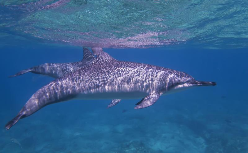 Spinner Dolphin Profile Swims Just Below Surface of Ocean. Spinner dolphin swimming just below ocean surface with sunlight coming through water and making stock image