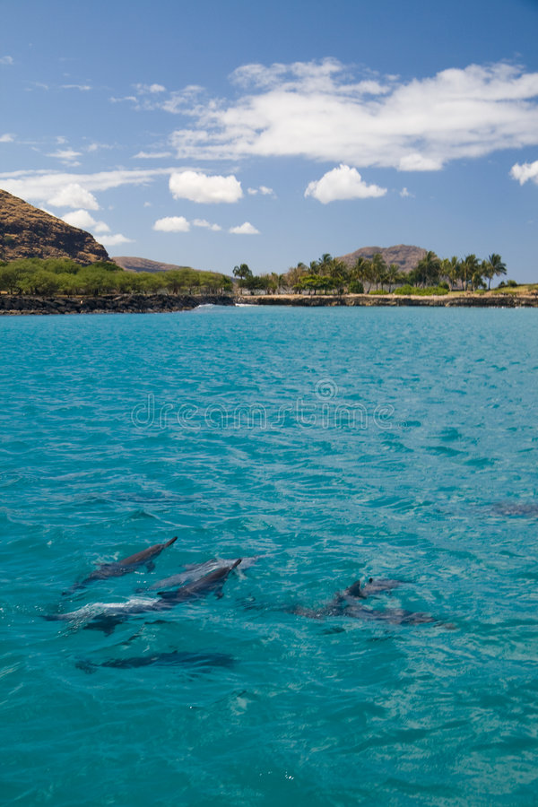Spinner Dolphins stock images