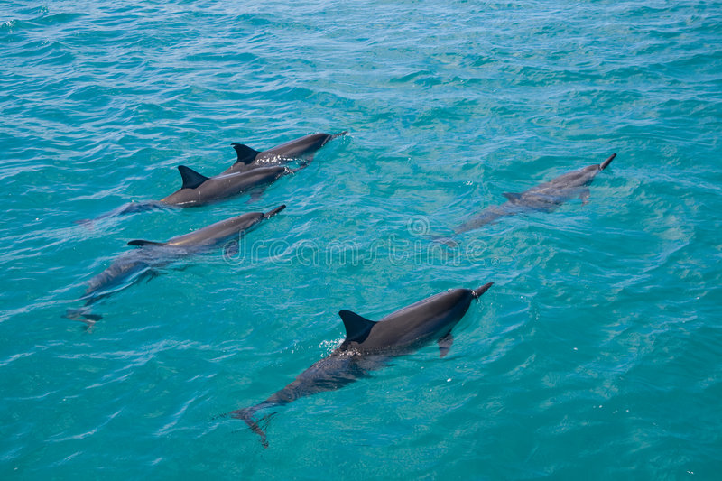 Spinner Dolphins Royalty Free Stock Photo