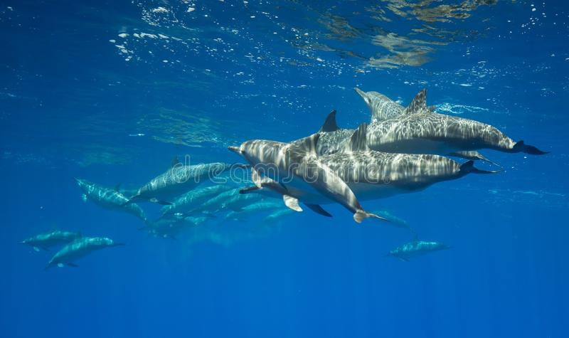 Spinner dolphins in hawaii royalty free stock photos