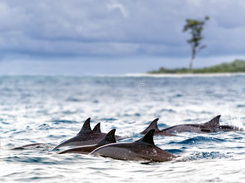 Spinner dolphins royalty free stock images