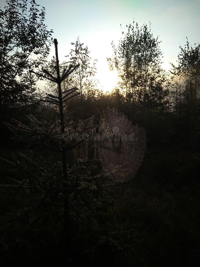 Spinneweb in dauw, ochtendmist en zon in het de zomerbos stock fotografie