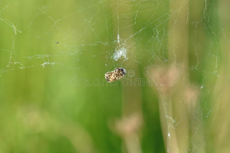 Spinneweb met slachtoffer royalty-vrije stock fotografie