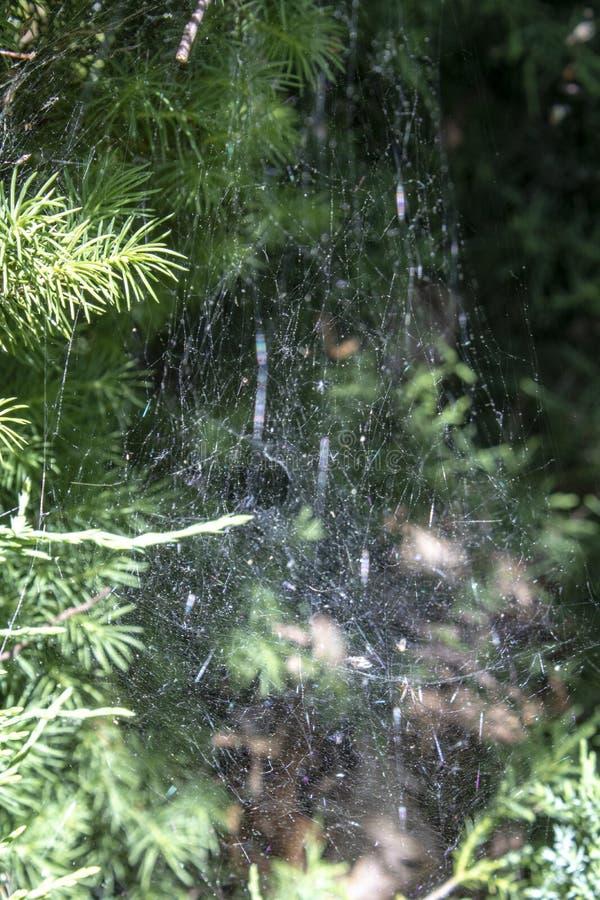 Spinneweb op boom royalty-vrije stock foto