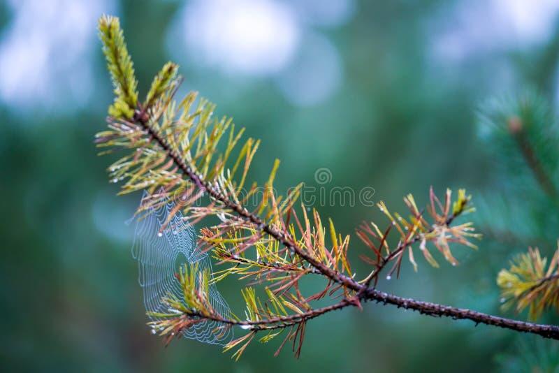 Spinneweb op pijnboom royalty-vrije stock foto