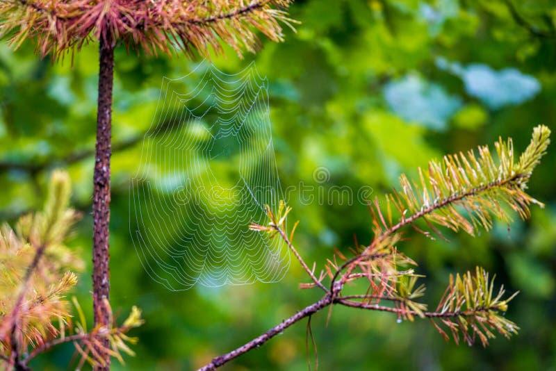Spinneweb op pijnboom stock afbeeldingen