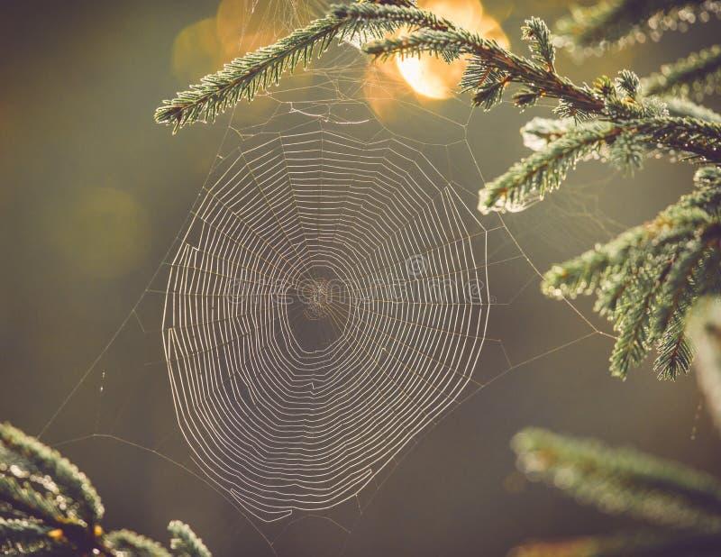 Spinneweb op pijnboomtak royalty-vrije stock afbeelding