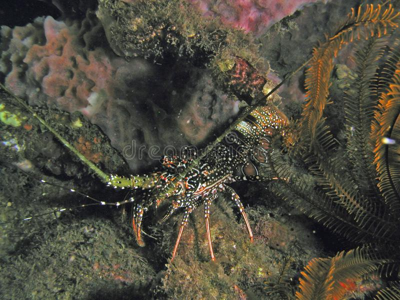 Spinny lobster in 80 ft of water stock photos