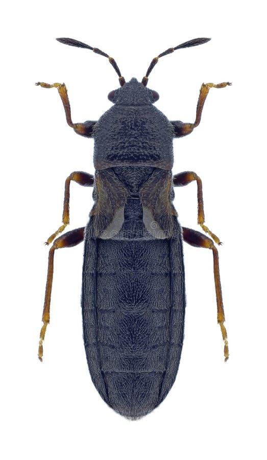 Spinolae van insectendimorphopterus stock afbeelding