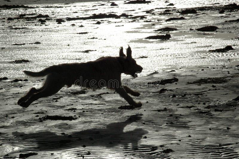 Spinone-Hund im vollen Galopp über nass Sand lizenzfreies stockfoto