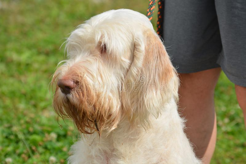 Spinone Italiano jest łowieckim psem zdjęcia stock