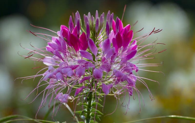 Spinosa del Cleome o flor de araña hermoso en el cierre del jardín para arriba imagen de archivo