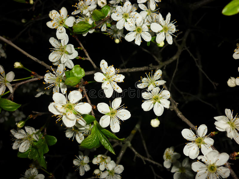Spinosa Prunus (blackthorn, sloe), άνθιση άνοιξη φωτογραφίας, λουλούδια σε ένα μαύρο υπόβαθρο στοκ φωτογραφία με δικαίωμα ελεύθερης χρήσης