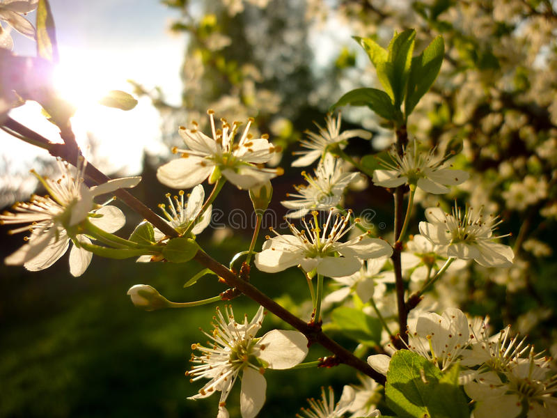 Spinosa Prunus (blackthorn, sloe), αντίθετο φως ήλιων στοκ εικόνες