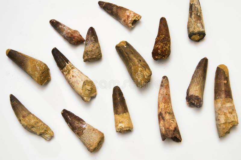 Spinosaurus tänder royaltyfria foton