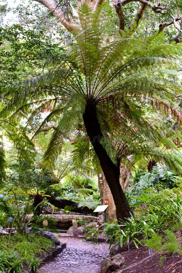 Spinulose tree fern in Kirstenbosch National Botanical Garden royalty free stock photos