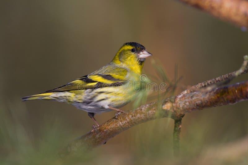 spinus för fågelcarduelissiskin royaltyfri fotografi