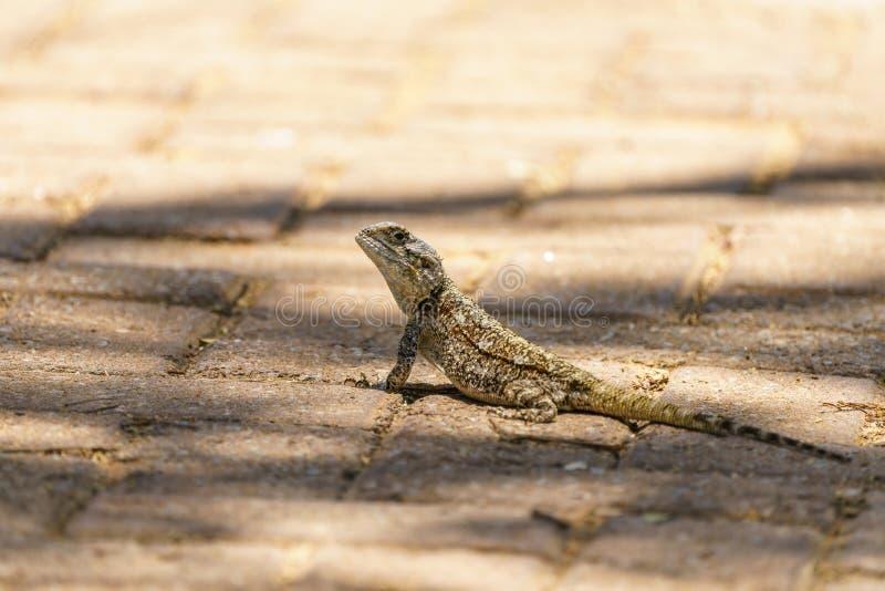 Spiny Agama (Agama hispida) na África do Sul fotografia de stock
