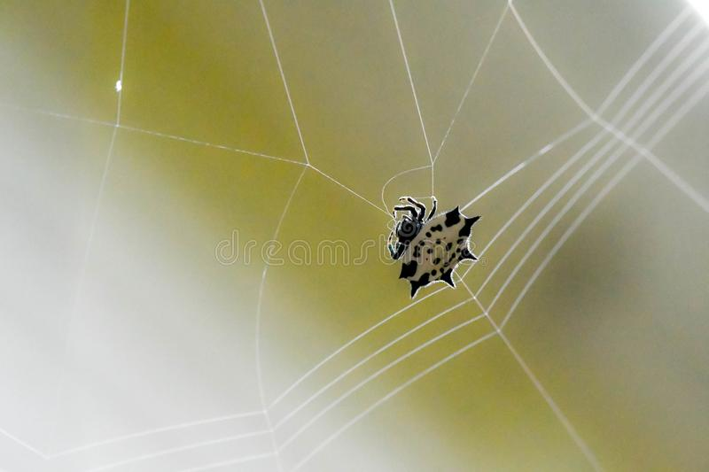 A Spiny backed orb-weaver spider weaving its web, Marietta, Georgia, USA. A spiny backed orb-weaver spider spinning its web, Marietta, Georgia, USA stock images